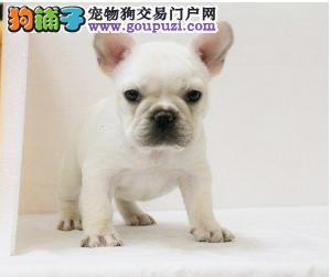 出售多种颜色枣庄纯种法国斗牛犬幼犬上门可见父母