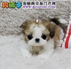 纯种漂亮的西施犬CKU认证犬舍支持发货包邮