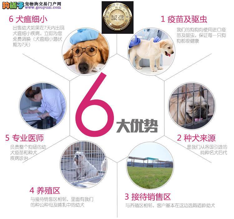 精品狼狗 保纯保健康 疫苗和驱虫均已做完 可签协议