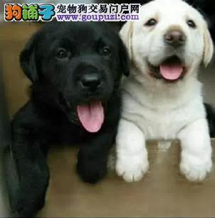 纯种血统拉布拉多犬 公母均有 签协议