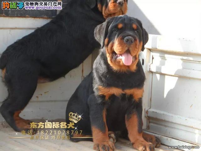 东方犬舍德系罗威纳专业养殖基地包纯种包健康