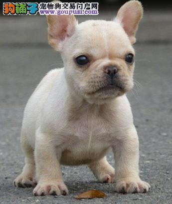 专业繁殖极品法国斗牛犬纯白色纯黑色黑白色