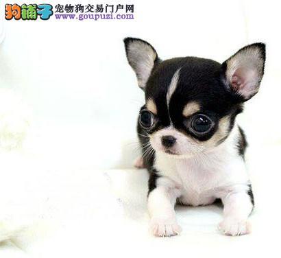 狗场直销一出售纯种吉娃娃犬一送用品一签协议一包养活