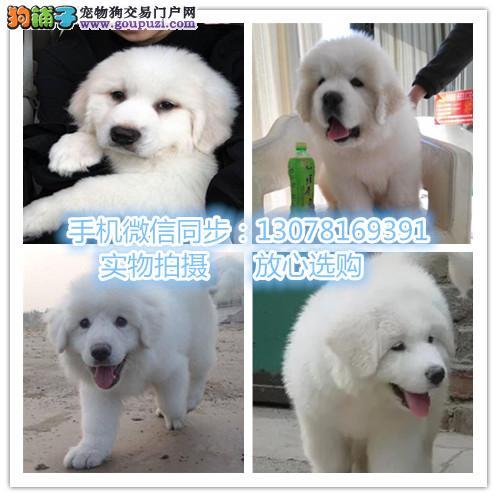 KD犬舍出售包纯种包健康大白熊品相优秀 喜欢价格可议