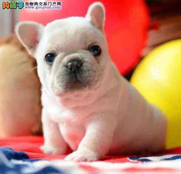 南京哪有法牛犬出售法国斗牛犬英牛英斗