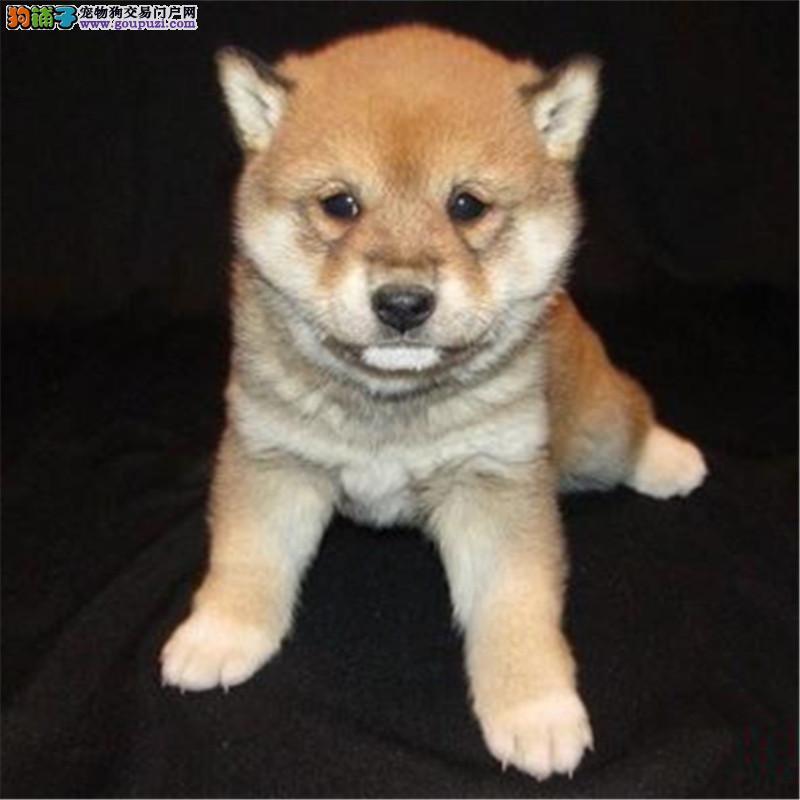 知名犬舍出售多只赛级柴犬当地上门挑选