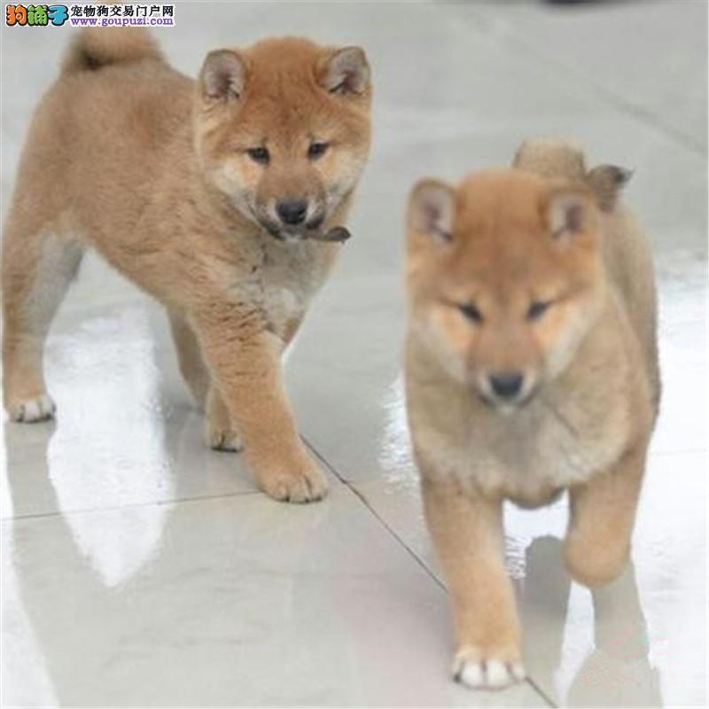 出售柴犬公母都有品质一流购犬可签协议