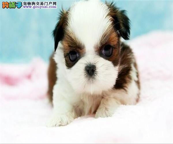买纯种西施犬 西施宠物狗狗幼犬出售中 包健康