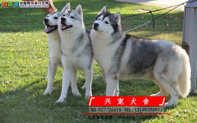 CKU认证犬舍 专业繁殖哈士奇 三把火帅气哈士奇