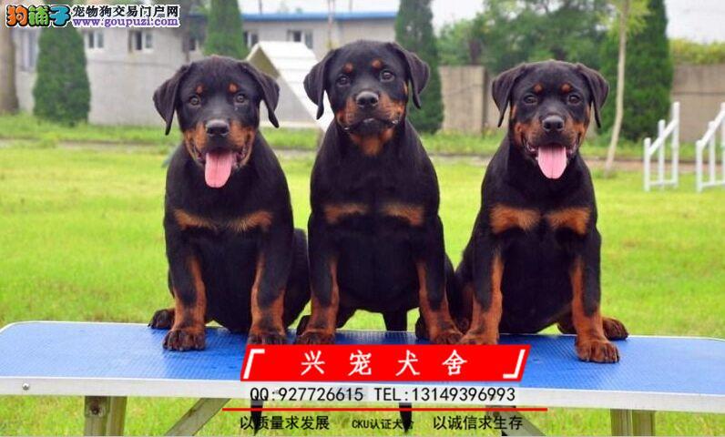 罗威纳 罗威纳防暴犬 专业繁育罗威纳犬舍 品质保障