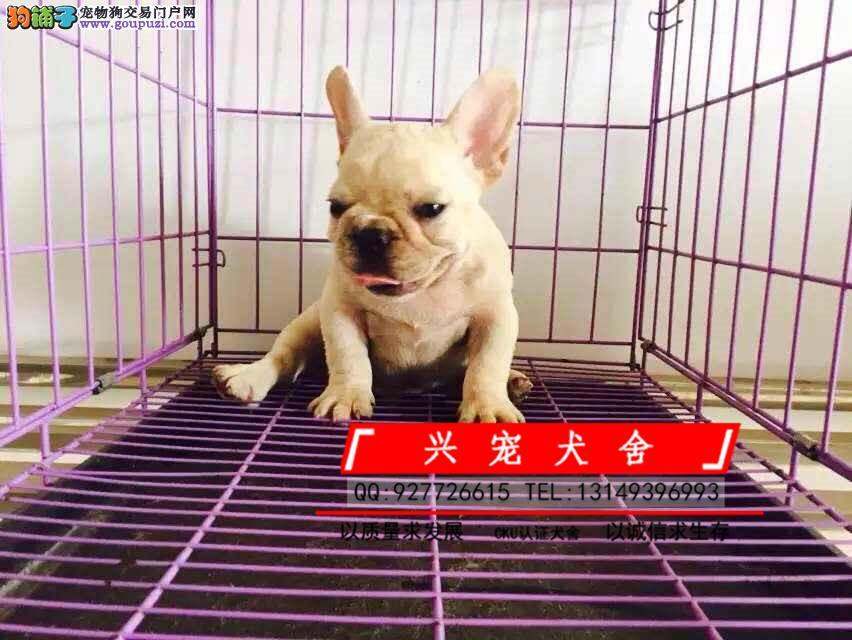兴宠犬舍繁殖纯种法国斗牛犬、诚信交易 可签协议
