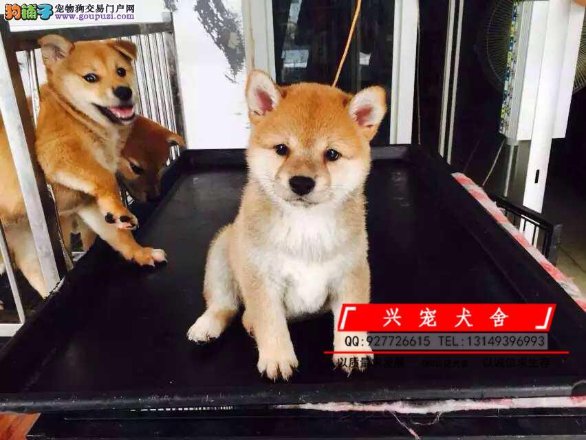 CKU纯种日本柴犬/多只可选/签协议包健康半年