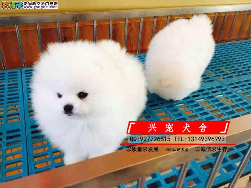 哈多利博美犬 纯种博美幼犬待售中 同城可送货上门挑选