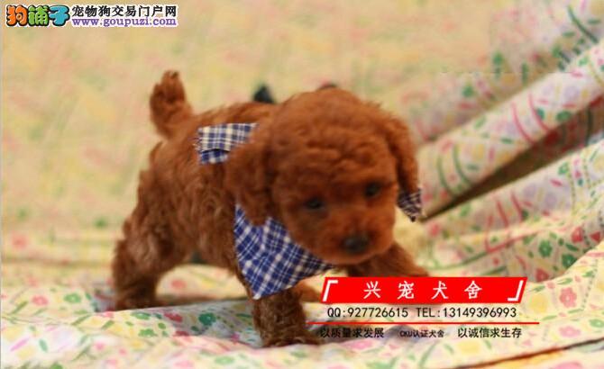 泰迪犬舍 茶杯泰迪 迷你泰迪 玩具泰迪 专业繁育泰迪犬