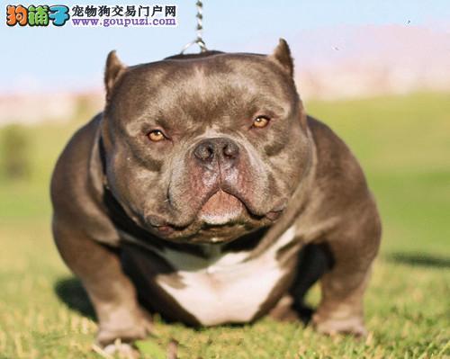 百分百健康纯种美国恶霸犬北京热卖中国际血统认证