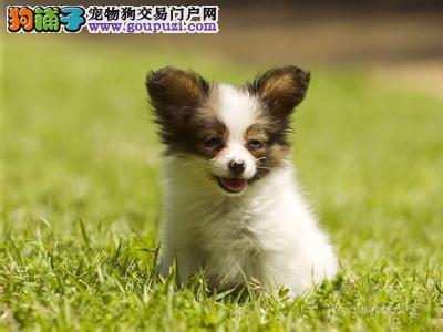 哪里出售蝴蝶犬 蝴蝶犬图片 福州蝴蝶犬多少钱价格