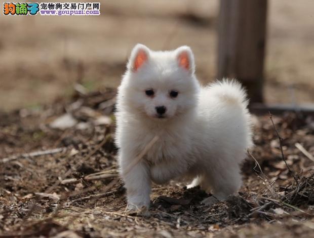 完美品相血统纯正银狐犬出售真实照片视频挑选