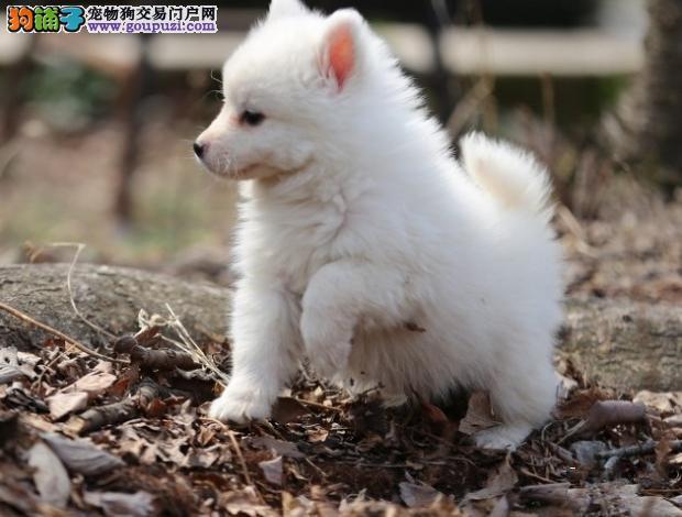 超级可爱的尖嘴幼犬 保证纯种健康 可上门看狗