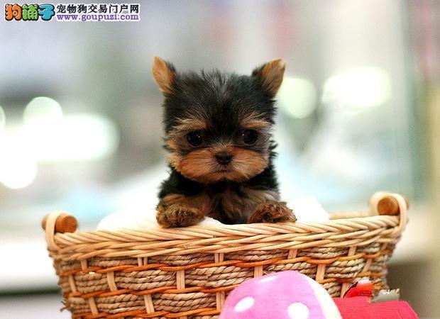 长沙市约克夏犬多少钱一只