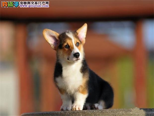 赤峰出售短腿翘臀高智商柯基犬可签协议上门看狗