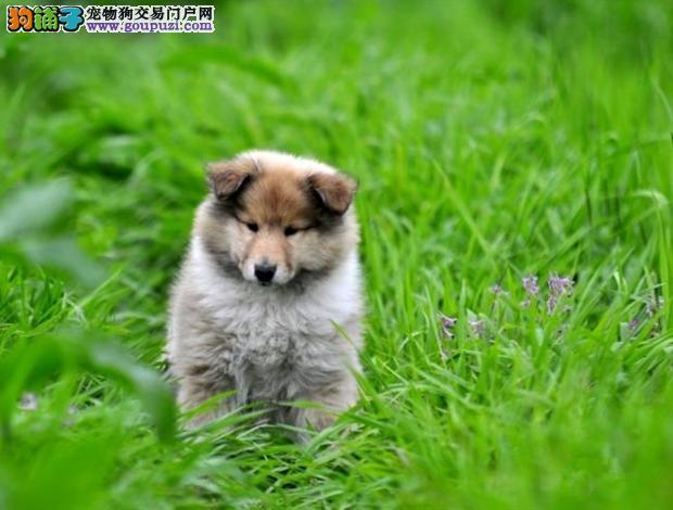 出售精品苏格兰牧羊犬纯种小型犬飞盘边牧幼犬