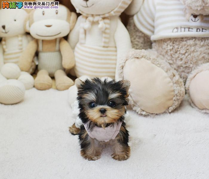 高品质约克夏幼犬、专业繁殖包质量、全国送货上门