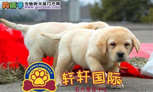 赛级精品纯种拉布拉多犬狗狗宠物导盲犬拉多