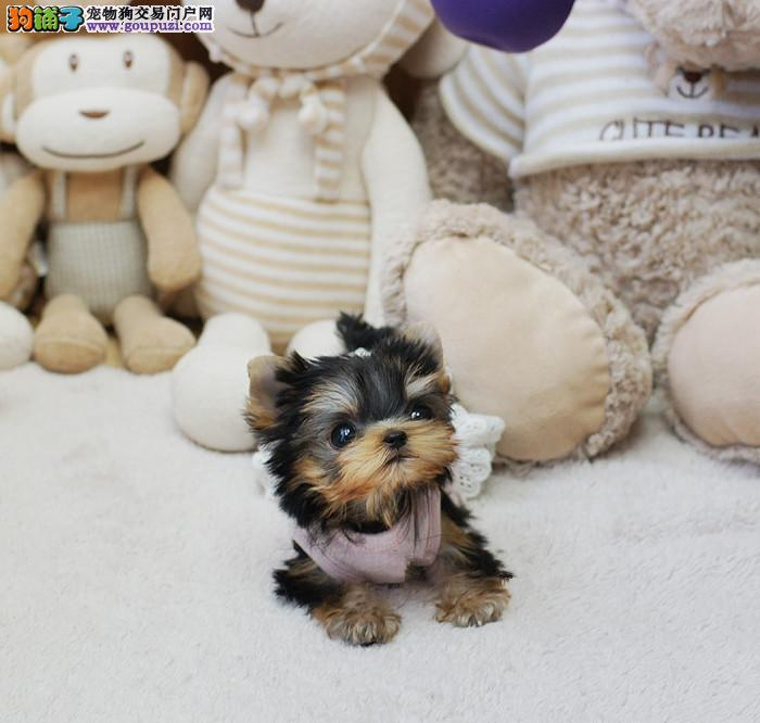 超级可爱纯小体的小夏幼犬接受预定