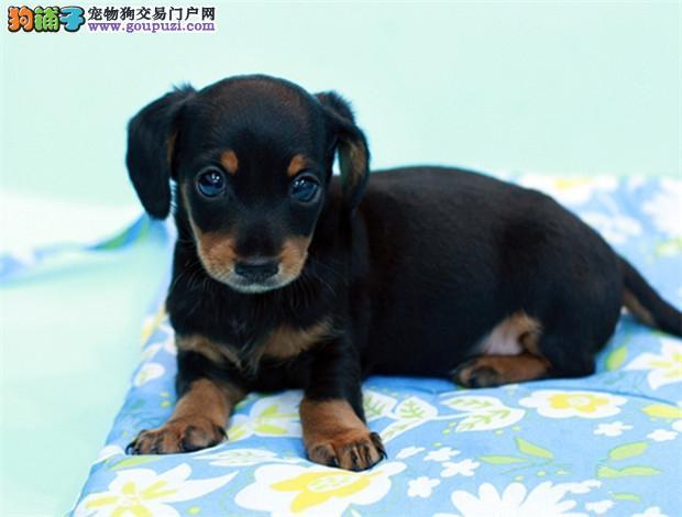 出售3个月腊肠幼犬,100%好评。