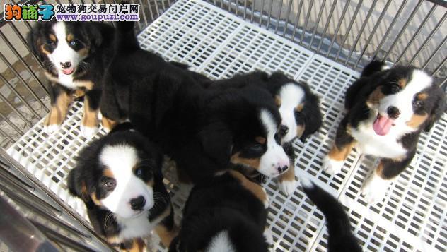 伯恩山犬养殖基地 打完疫苗有证书签协议 伯恩山价格
