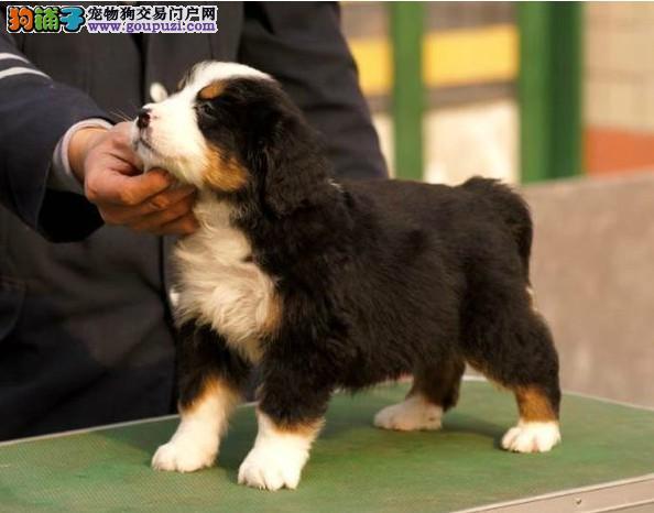 精品伯恩山幼犬一对一视频服务买着放心优惠出售中狗贩子勿扰