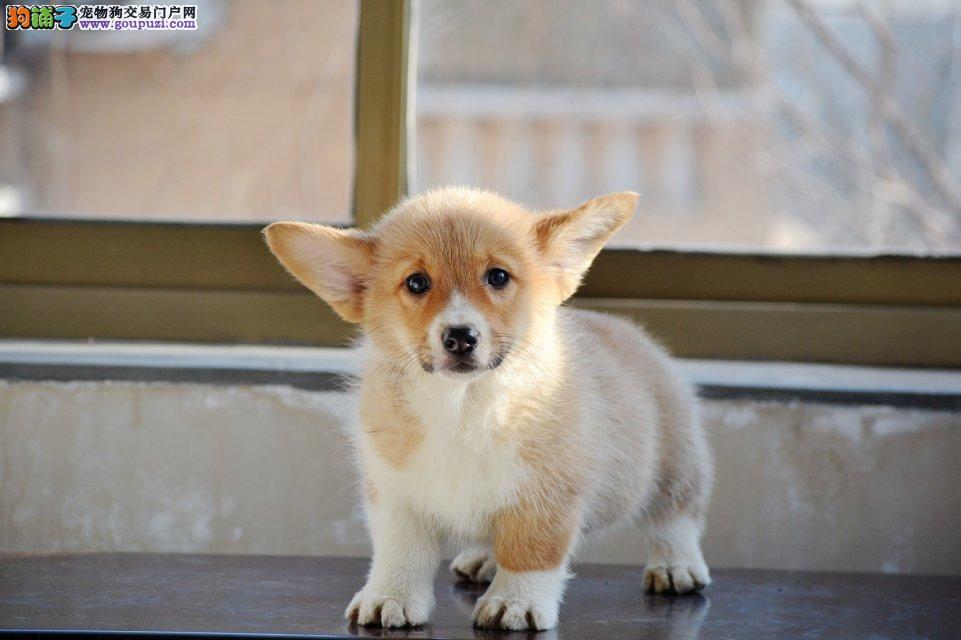 国外引进国宝级柯基幼犬 威尔士乖巧小柯基 欢迎上门