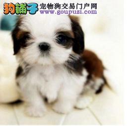 出售西施犬幼犬 纯种健康有保障 签订质保协议 包邮费