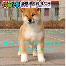 高品质柴犬出售,疫苗齐全,质量保证,放心购买