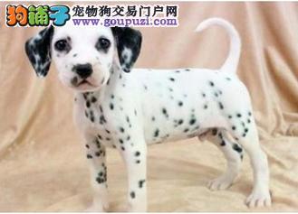 专业犬业售品质优良斑点狗幼犬 三针做完多窝可挑