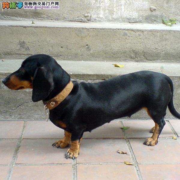 宁波出售纯种腊肠幼犬 图片价格买卖可上门选购