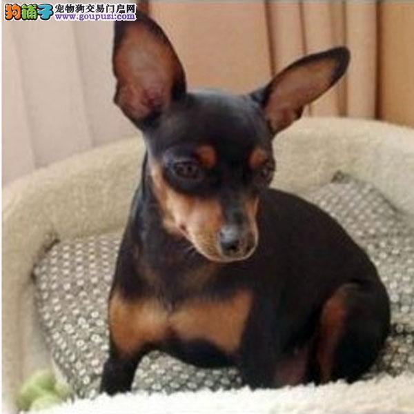 广州纯种小鹿犬价格 广州小鹿犬一只多少钱