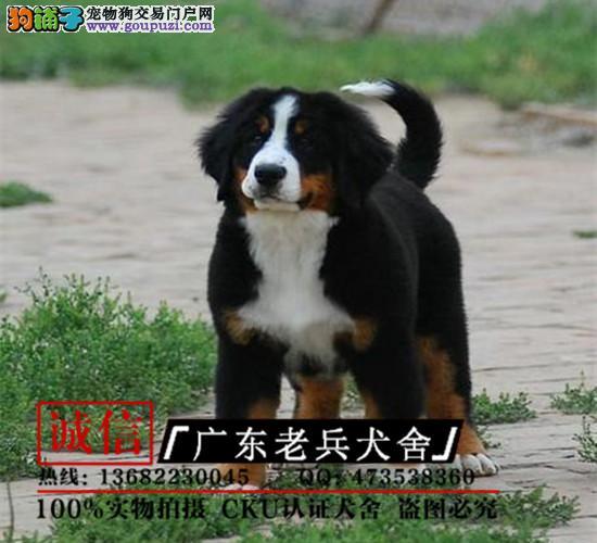 广东老兵犬舍 出售贵族伯恩山幼犬 质量三包 可签协议