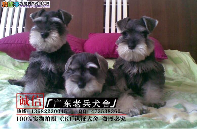 广东老兵犬舍 出售极品雪纳瑞幼犬 签订协议