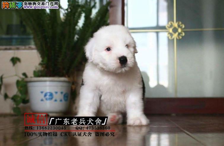 广东老兵犬舍 出售高品质古牧 质量三包 可签协议
