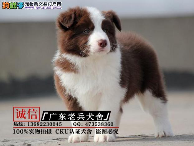广东老兵犬舍 出售精品边境牧羊犬 质量三包 可签协议