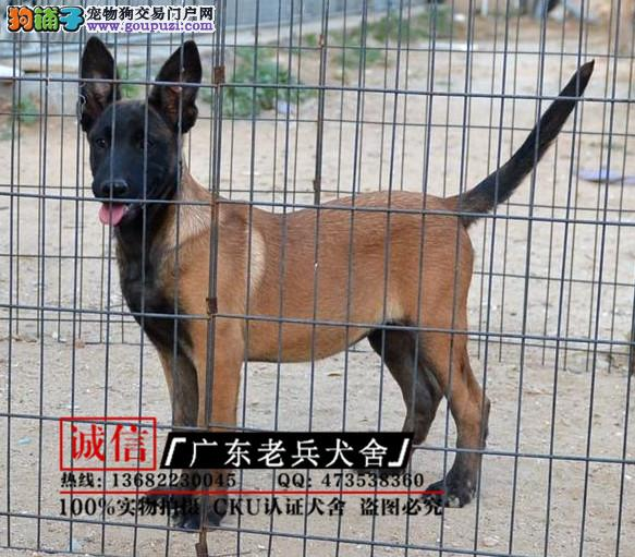 广东老兵犬舍 出售高品质马犬 质量三包 可签协议