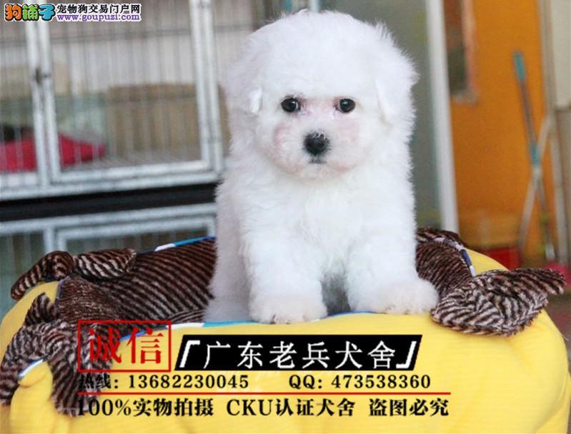 广东老兵犬舍 出售高品质比熊 保纯种健康 可签协议