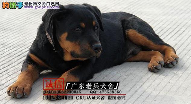 广东老兵犬舍 出售健康纯种罗威纳 质量三包 可签协议