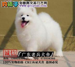 广东老兵犬舍 出售高品质萨摩幼犬 质量三包 可签协议