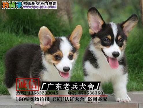 广东老兵犬舍 出售小短腿柯基幼犬 质量三包 可签协议