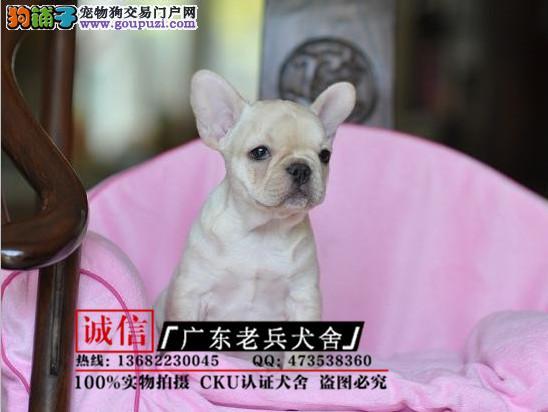 广东老兵犬舍 出售精品法国斗牛犬 质量三包 可签协议