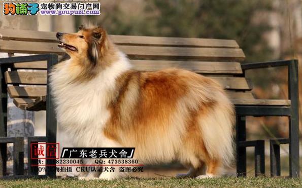 广东老兵犬舍 出售纯种健康苏格兰牧羊犬 可签协议