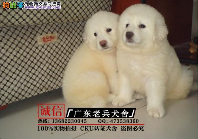 广东老兵犬舍 出售大白熊带血统 质量三包 可签协