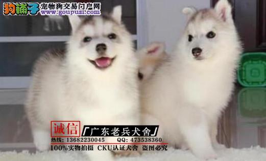 广东老兵犬舍 出售带血统哈士奇 质量三包 可签协议